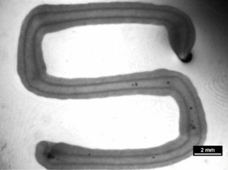 Ein stereomikroskopisches Bild eines zellfreien Core/Shell Strang, mäanderförmig abgelegt, mit klarer Separation von Core-Spur (Alg/MC) und Shell-Spur (Alg/MC + Matrigel), Maßstabsbalken 2 mm. [1]